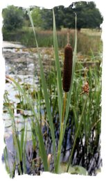 Bullrush - part of the chain of Ogham Reeds